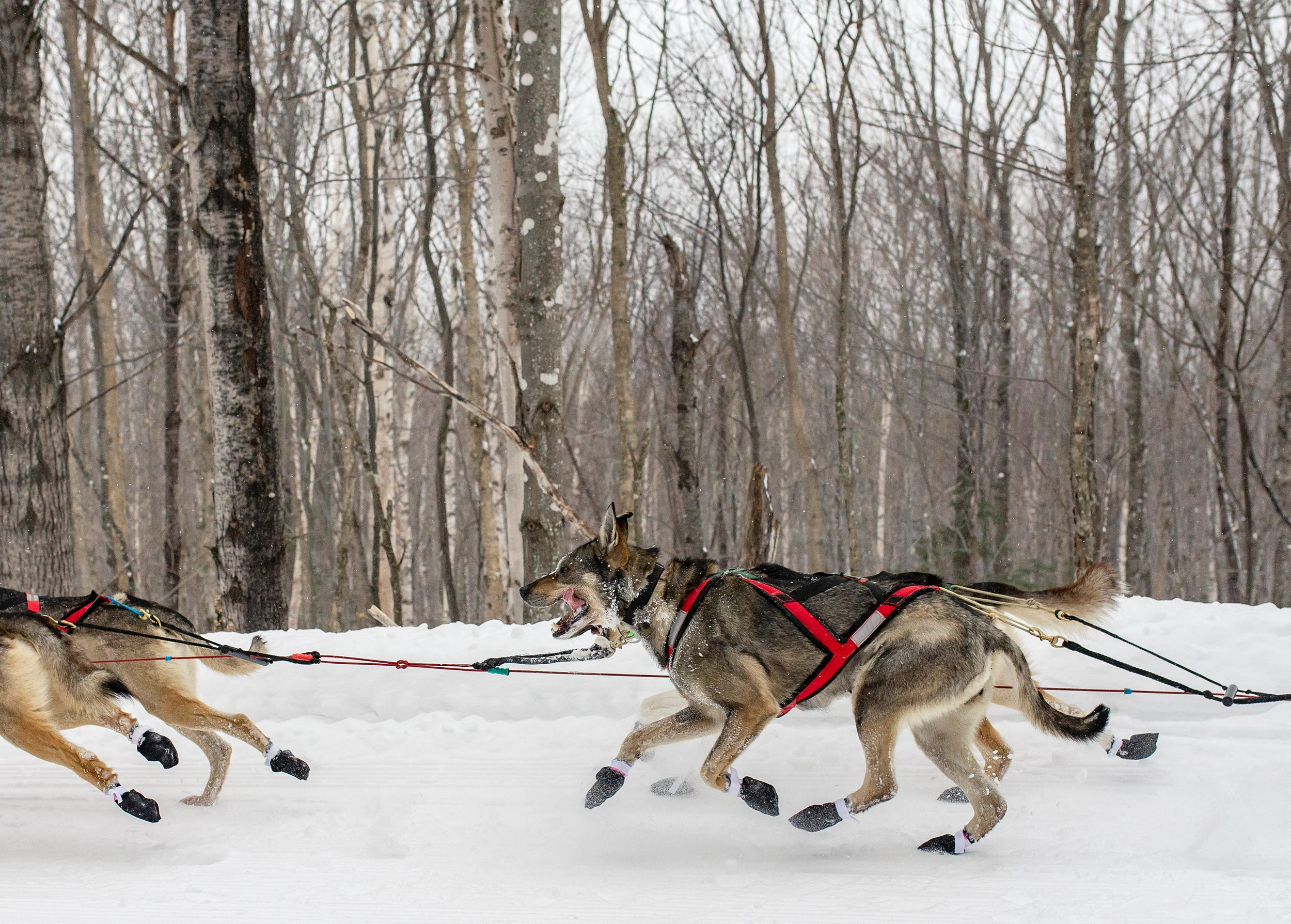100-mile-wilderness-sled-dog-race