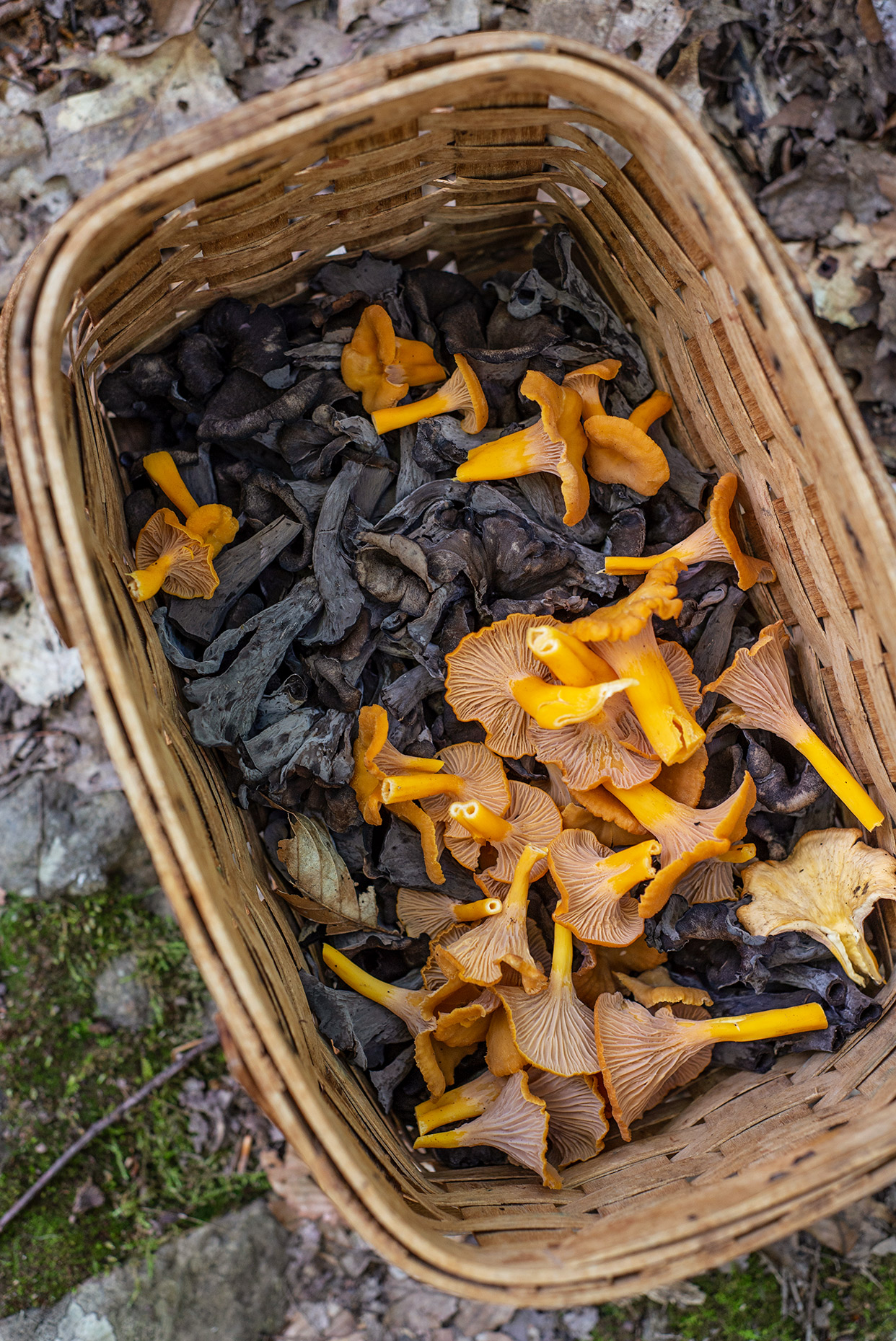 chanterelles-foraging