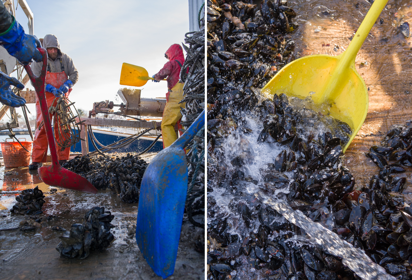 collecting and cleaning mussels